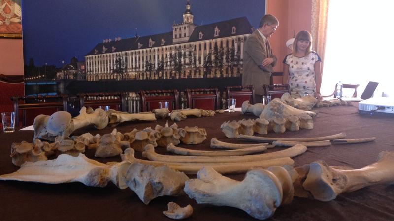Wrocław: zaprezentowano szkielet nosorożca sprzed ponad 100 tys. lat