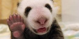 Ta panda jest malutka jak...