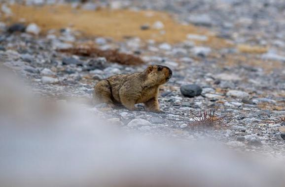 Mrmot
