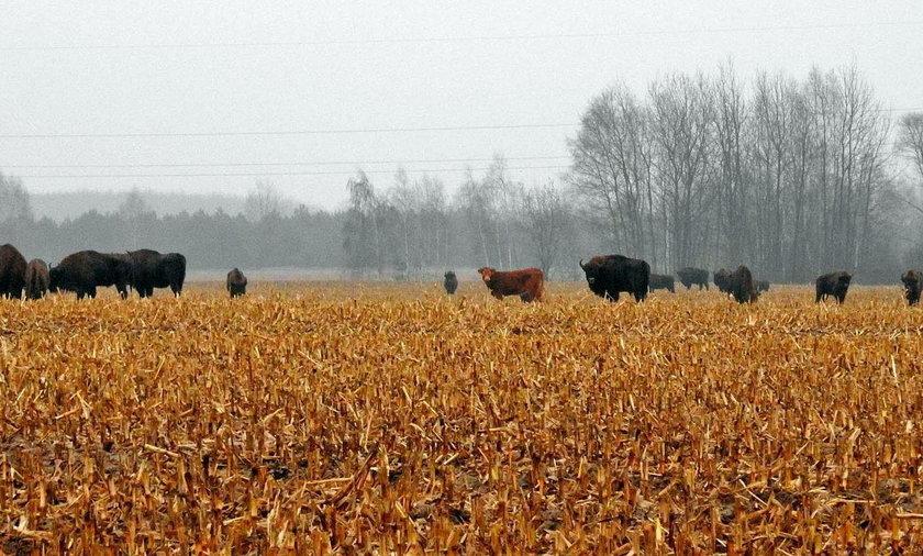 Krowa na gigancie, przyłączyła się do stada żubrów!
