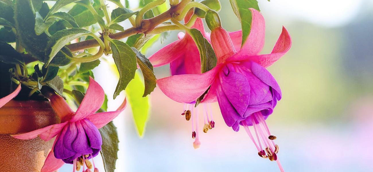 552d82673b43c7 Fuksja ogrodowa – uprawa, pielęgnacja, rozmnażanie, odmiany, kwiat. Sprawdź  jak o