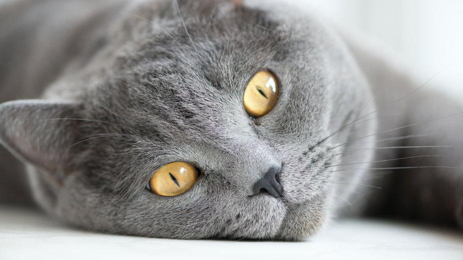 Koty brytyjskie są niezwykle inteligentne - cook_inspire/stock.adobe.com