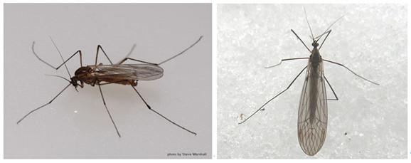 najsličniji klasičnim komarcima, nisu prenosioci bolesti