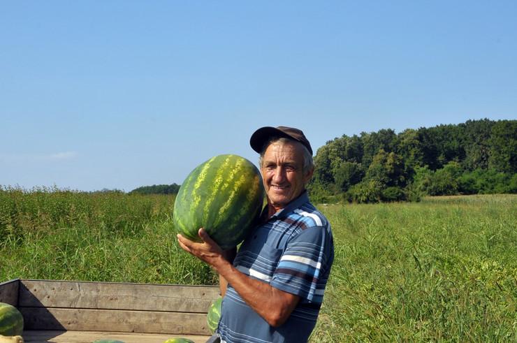 Branko Jeremić u berbi lubenica