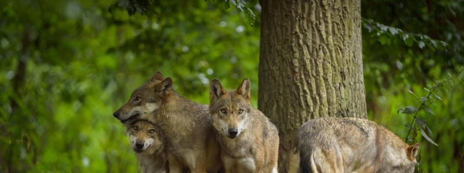 European Gray Wolf Group of Wolves