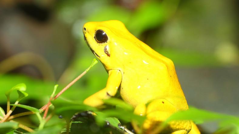 Jadowita żaba amazońska