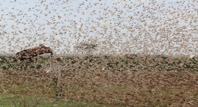 Desert locusts. (participatorygis.)