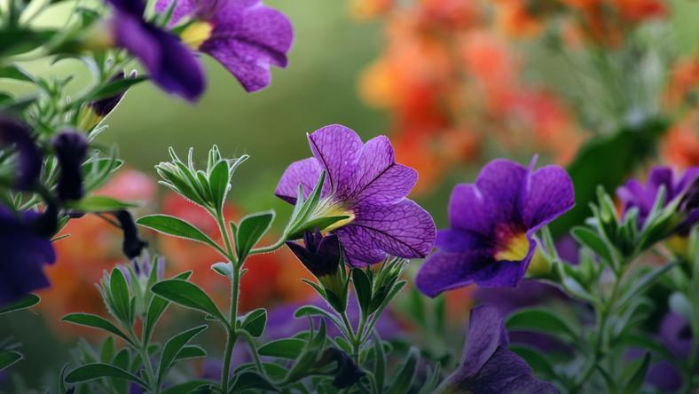 Kwiaty Na Balkon Jakie Gatunki Wybrać Na Południową