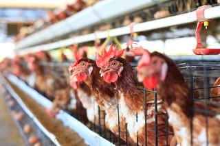 Ptasia grypa zainfekuje konta producentów. Ceny drobiu spadają