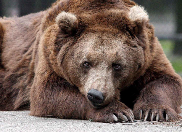 Niedźwiedziowate znane już od epoki miocenu