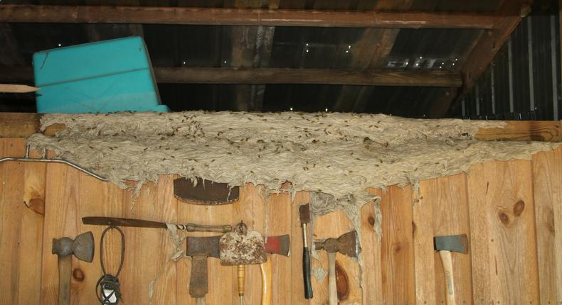 Officials warn of wasp 'super nests' in Alabama