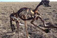 kostur kengura