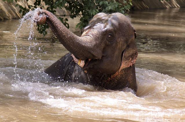 Slonovi prepoznaju signale čak iako su kilometrima udaljeni jedan od drugog