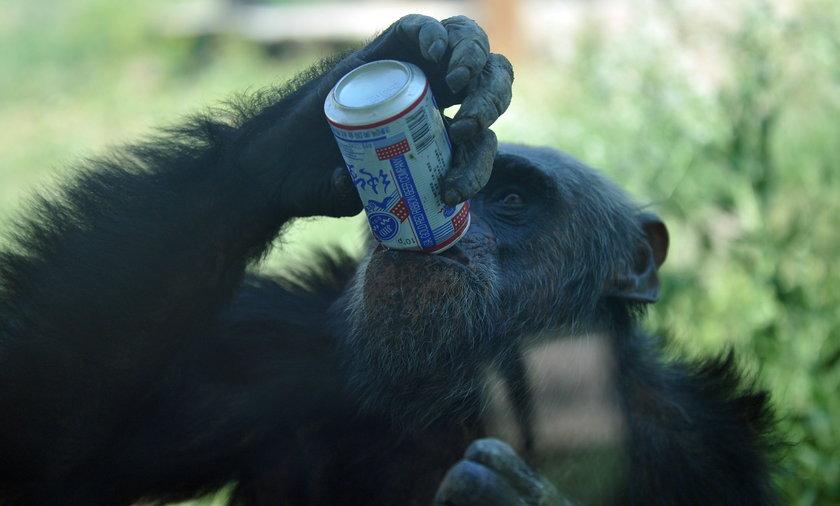 Szympans pije piwo w Chińskim zoo.