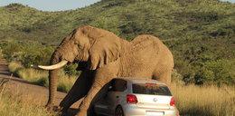 Słoń zaatakował samochód, bo chciał...