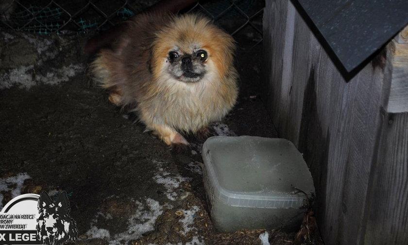 Zamarznięta breja zamiast wody, odchody, ciemność, przerażające zimno. W takich warunkach żyły pekińczyki z pseudohodowli pod Cycowem.