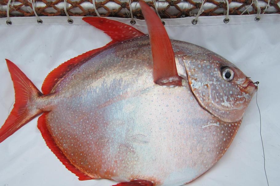 Pierwsza Stalocieplna Ryba Odkryta Strojnik Czyli Ryba Ksiezycowa