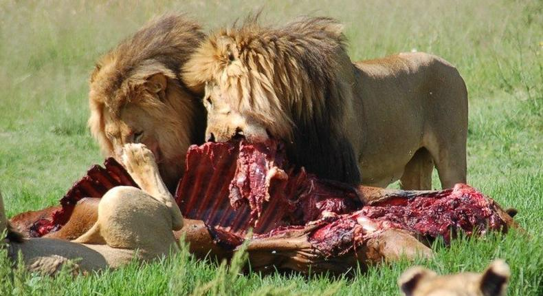 A family of African lions feasting on a carcass.