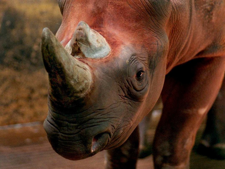 Rhinos are one of several endangered species due to poaching