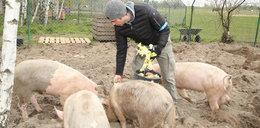 Tak Dorociński oporządza świnie