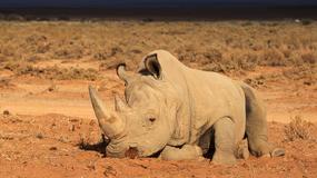 W RPA znowu można legalnie handlować rogami nosorożców