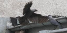 Wielka wojna kuny z ptakami