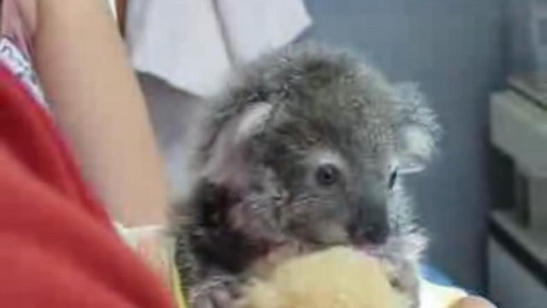Mały koala. Miśki, im mniejsze, tym fajniejsze