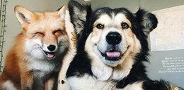 Co łączy psa i lisa? Popłaczesz się