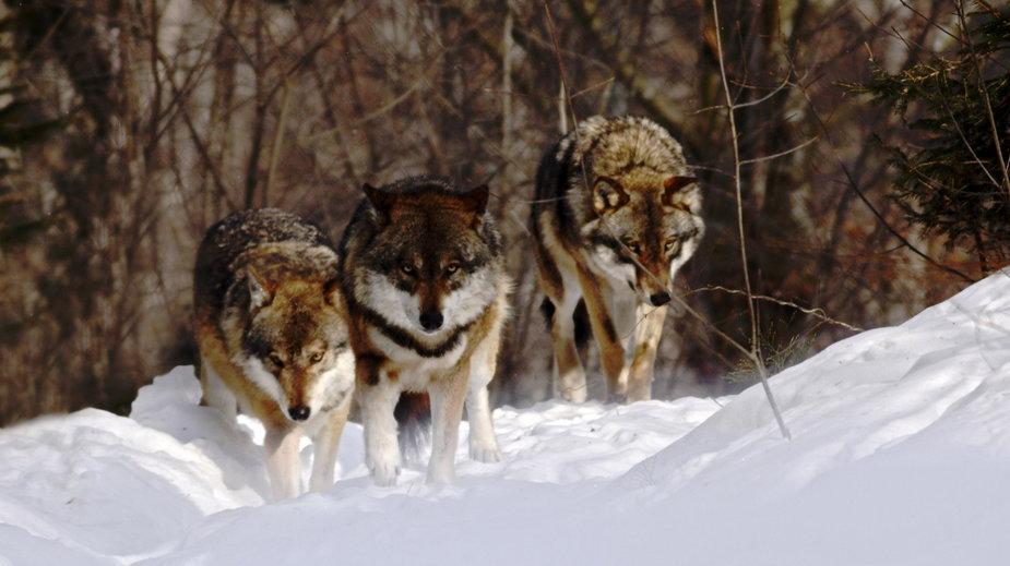 Odstrzał wilków na pograniczu Brzozowa w woj. podkarpackim