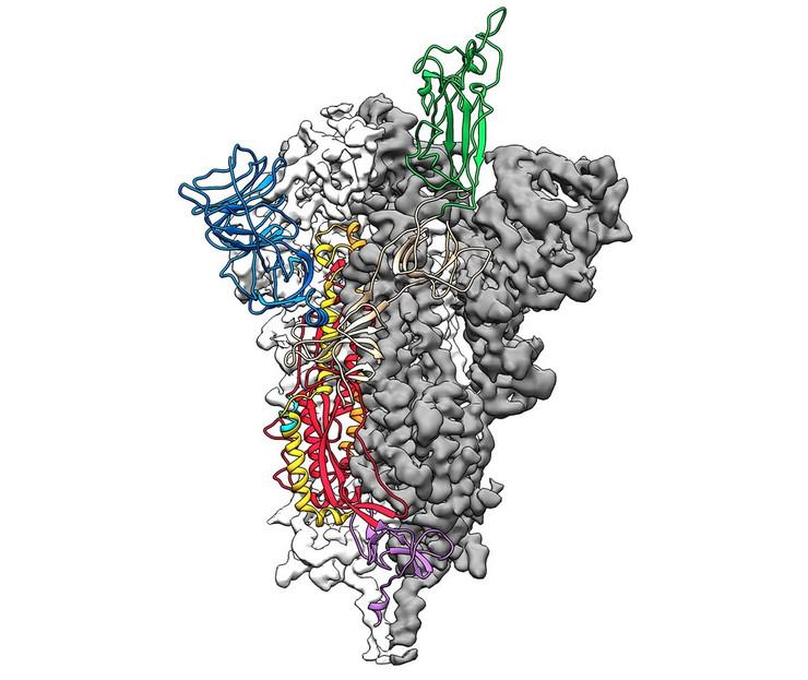 """Molekularna struktura """"šiljatog"""" proteina S koji novi korona virus koristi da napadne ljudsku ćeliju"""