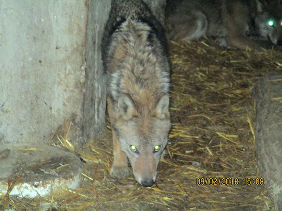 Vuk je u Vojvodini strogo zaštićena vrsta