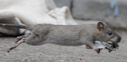 Gmina wypowiedziała wojnę szczurom