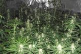 marihuana foto MUP (2)