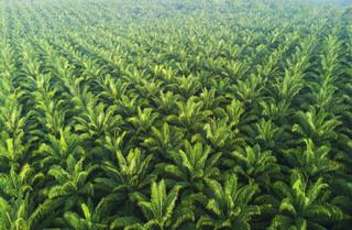 Dzień bez oleju palmowego? W Europie tak, w Indonezji i Malezji nie. 'Sprawa jest złożona'