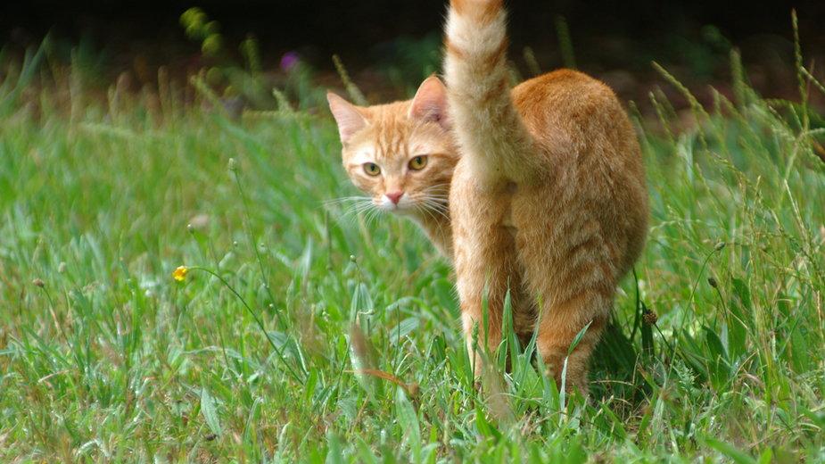 Dlaczego kot podnosi pupę w górę?