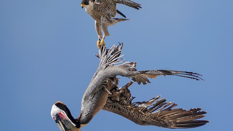 4fd2262d8aa7 Hiába sokkal nagyobb nála, a vakmerő sólyom megtámadta és el is kapta a  pelikánt /