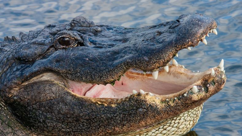 Aligatorzyca Marta z płockiego zoo skończyła 85 lat