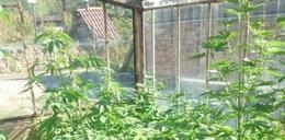 Nielegalna uprawa w szklarni