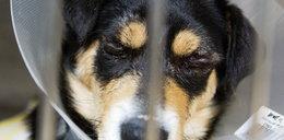 Internet w szoku: Zoofil obciął psu ogon, zaszył mu oczy!