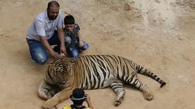 137 tygrysów przetrzymywanych w buddyjskiej świątyni zostanie uwolnionych