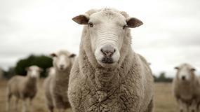 Baca Krzysztof Łaś zwycięzcą Mistrzostw Polski w strzyżeniu owiec