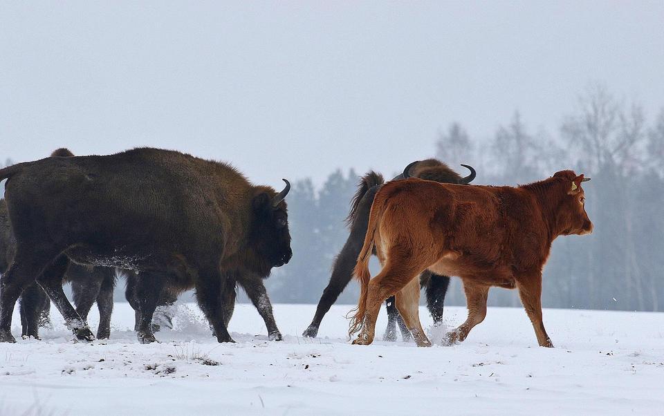 Krowa na gigancie zagraża żubrom