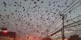 Film jak z horroru. Ptaki atakują miasto