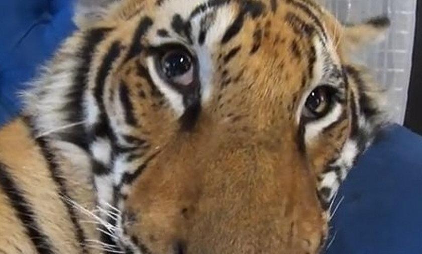 Tygrys otwiera oczy.