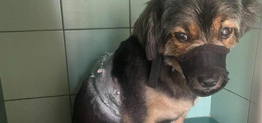 Duży owczarek zaatakował dziecko i innego psa. Mieszkańcy bali się go od dawna...