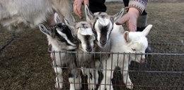 Kozie czworaczki urodziły się pod Kielcami!