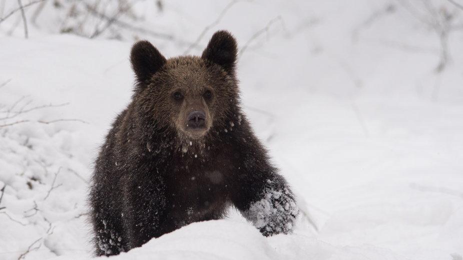 Niedźwiedź brunatny (zdjęcie ilustracyjne)