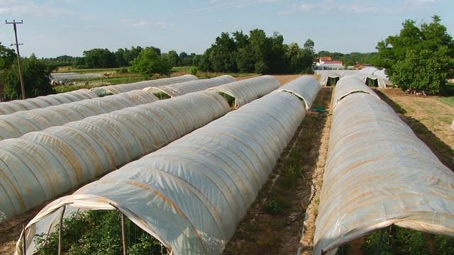 Na 25 ari pod plastenikom može da se dobije 8.000 kilograma paradajza godišnje, a početno ulaganje je 12.000 evra