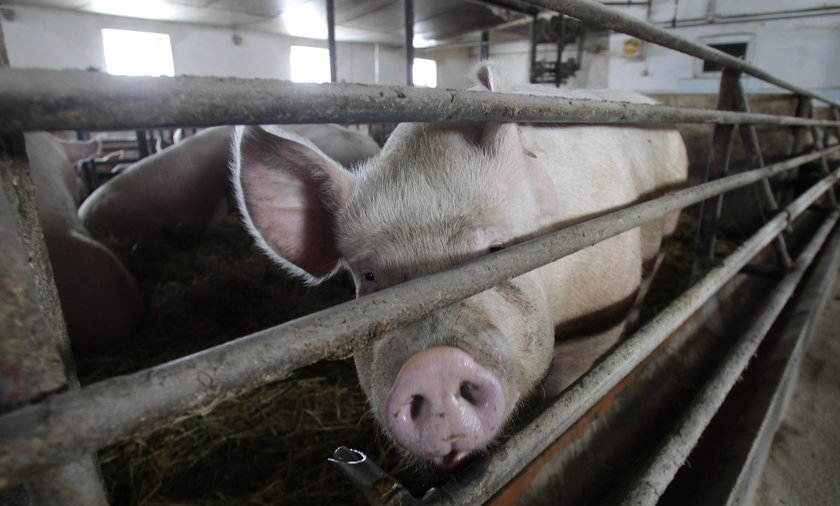 Świnie muszą mieć zabawki