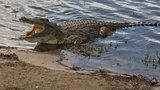 Gigantyczny krokodyl we włoskich kanałach?